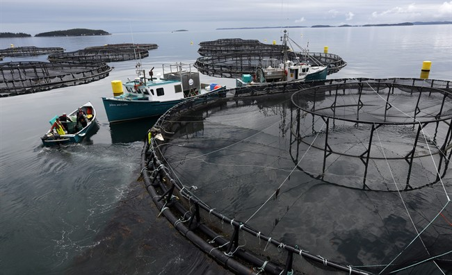 FILE - In this Thursday, July 13, 2017 photo, workers position their boats at a Cooke Aquaculture salmon farm near Blacks Harbour, New Brunswick.