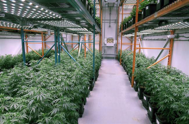 File photo of growing cannabis plants.