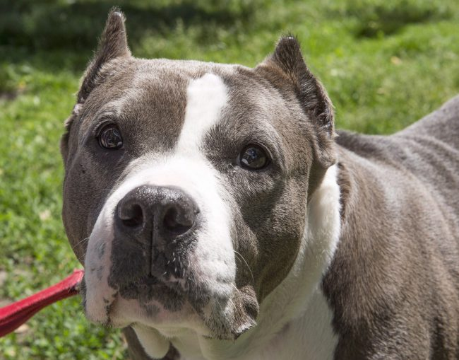 This June 14, 2016 file photo shows a pit bull going for a walk at the Montreal SPCA.