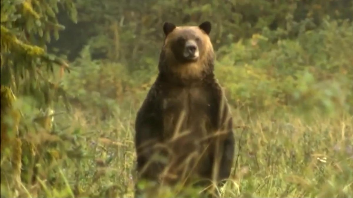 A new report says the province has failed to adequately protect its grizzly bear population.