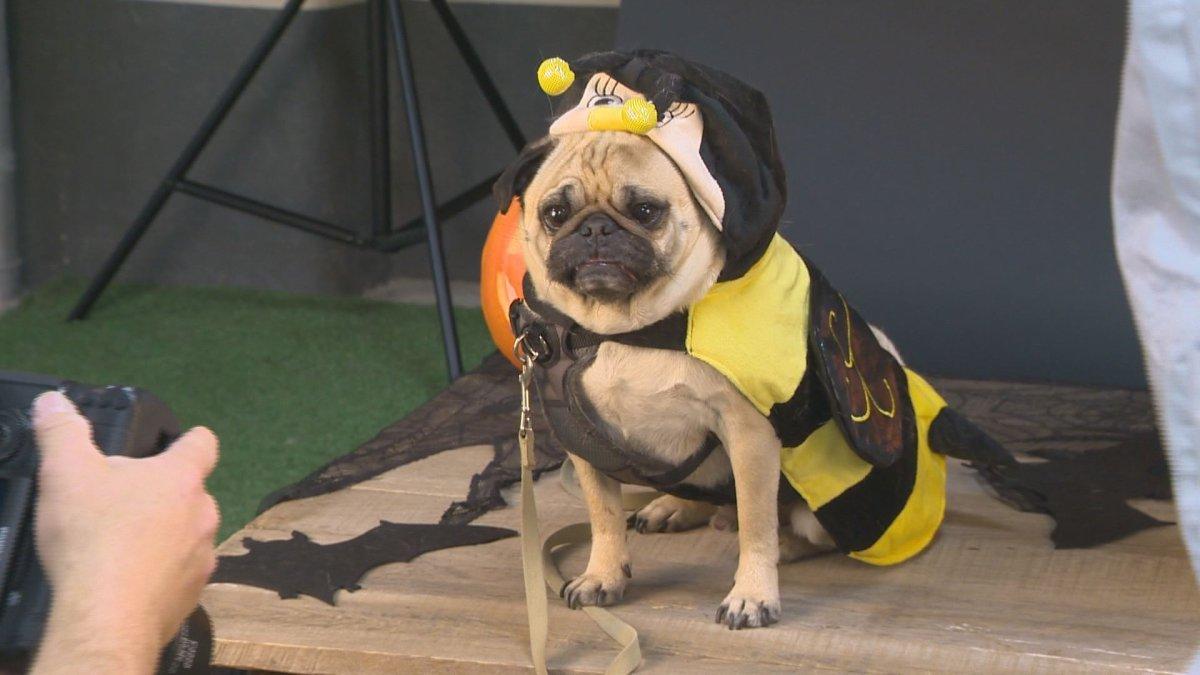 The Edmonton Pug Club hosts 'Pug-o-ween.'.