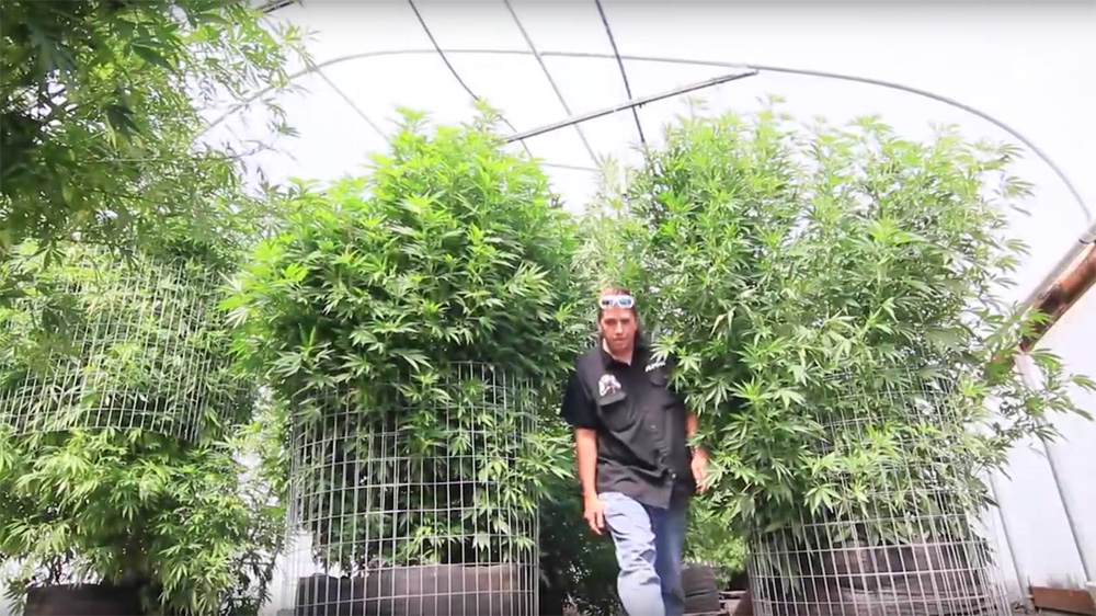 Marijuana plants can be bred to be the size of small trees.