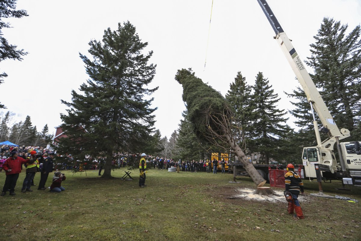 This year's Nova Scotia tree for Boston was cut down during a ceremony in Blue Mills, Inverness County on Wednesday.