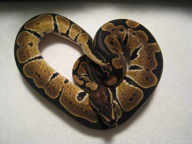 A juvenile ball python.