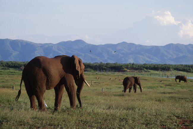 African bush elephants Zimbabwe.
