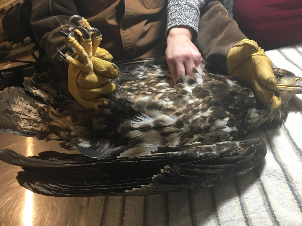 The N.S. SPCA is calling for lead ammunition to be prohibited in the province after this juvenile eagle had to be euthanized.