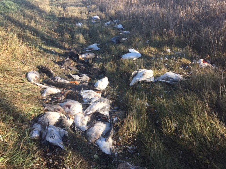 Over 70 migratory birds, including snow geese and ducks, were shot and left to rot near Unity, Sask.