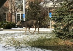 Continue reading: Reindeer spotting? Photos show Alberta wildlife tangled up with the Christmas spirit