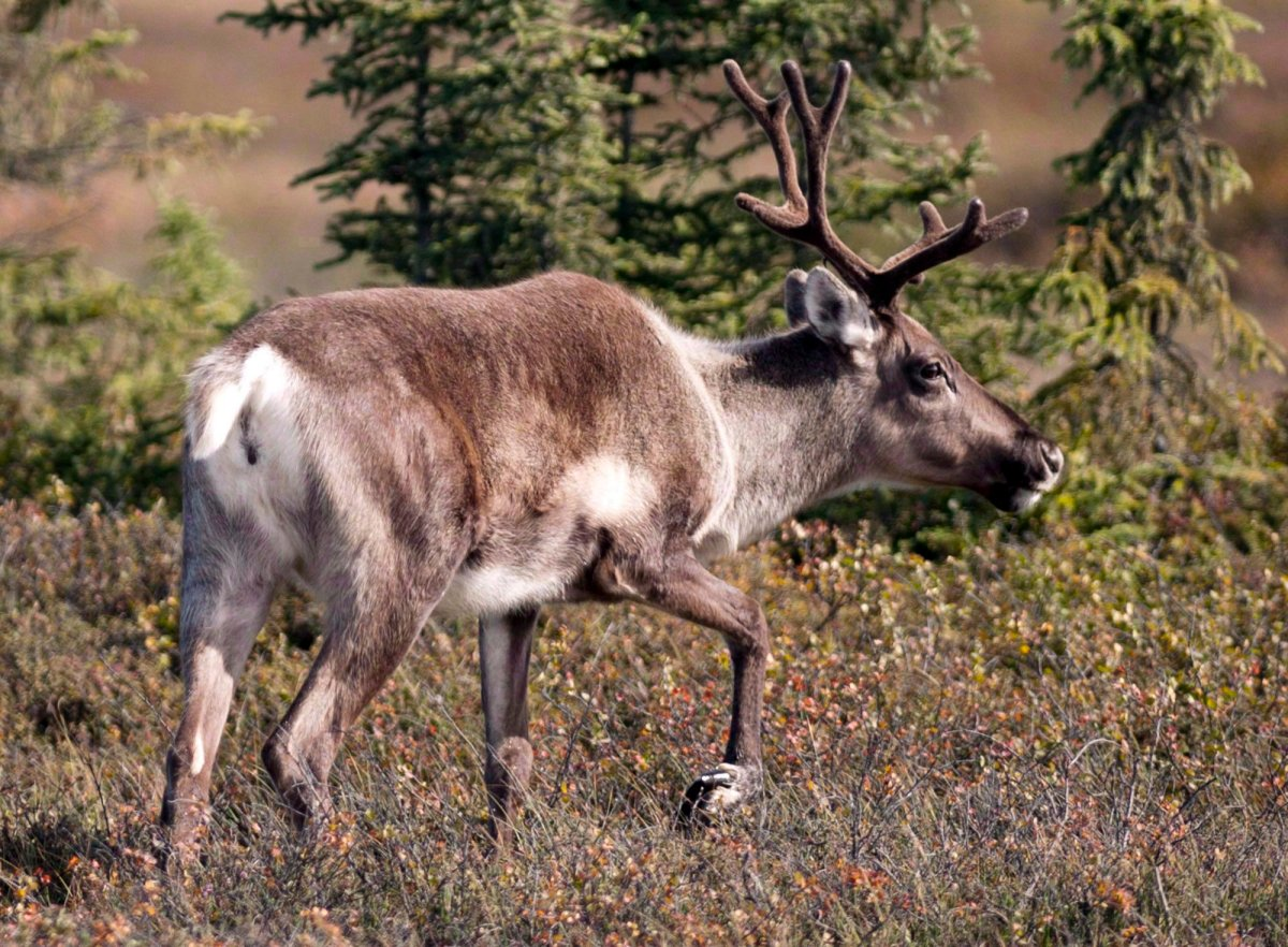 The provincial government is concerned the Michipicoten Island caribou will be wiped out if no action is taken.