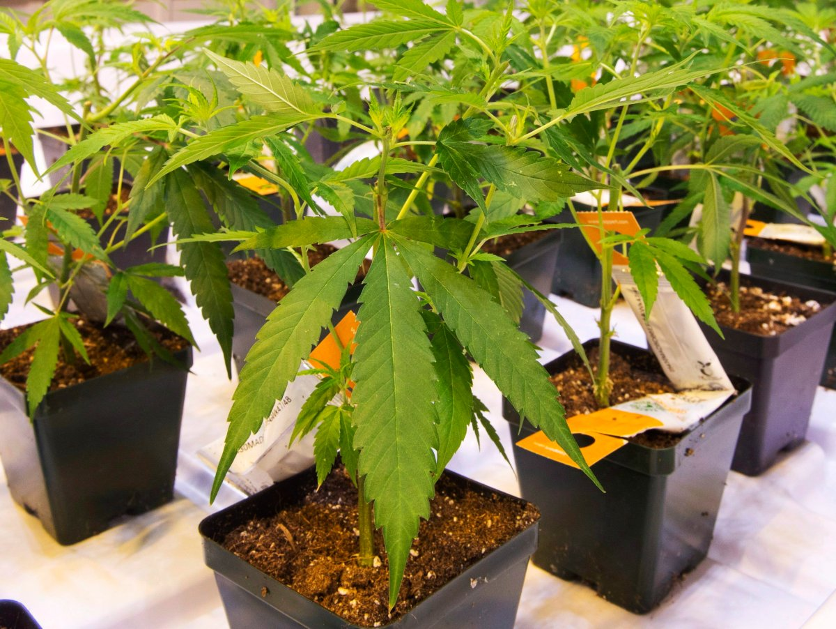 Cannabis seedlings at the new Aurora Cannabis facilty Friday, November 24, 2017 in Montreal.THE CANADIAN PRESS/Ryan Remiorz.