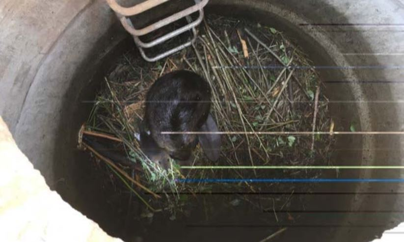 An adult beaver and kit observed in the Port Moody storm sewer system.