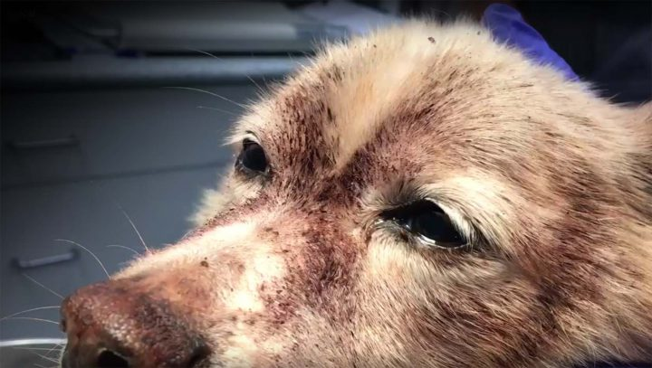 Rascal lost approximately 85 per cent of his blood due to a flea infestation, according to the BC SPCA.