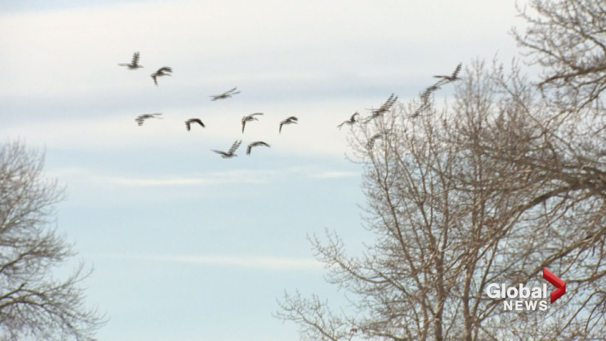 Canada geese are seen flying in Calgary.