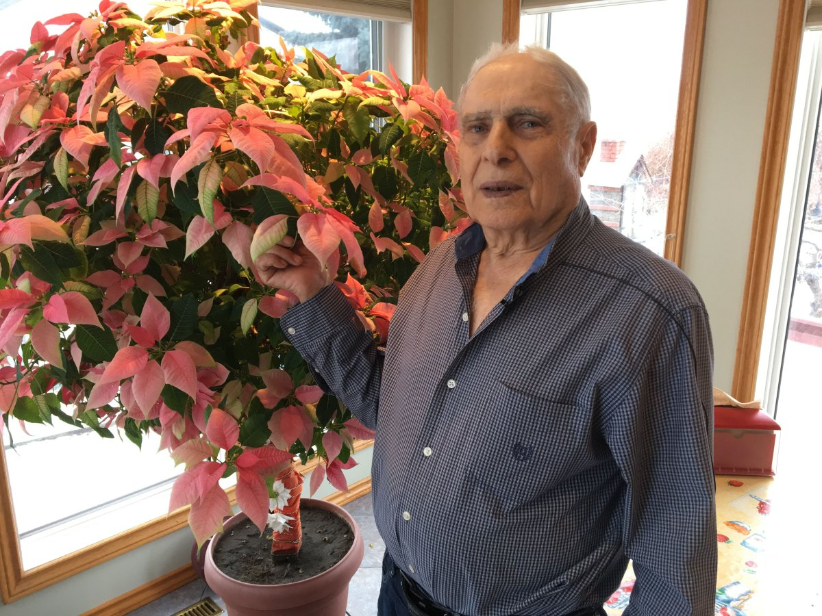 This poinsettia has been firmly rooted in Joe Mauro's family house since 1999, when his daughter bought it for him as a Christmas gift.