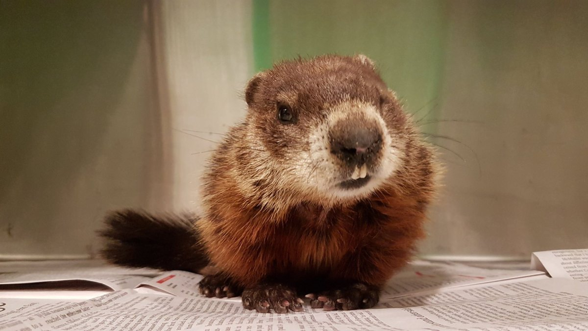 The groundhog was spotted wandering in circles and was out in freezing temperatures.