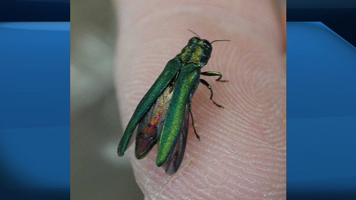 The emerald ash borer, which is deadly to all ash trees, has been designated an insect pest by the Saskatchewan government.
