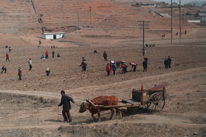 In this photo taken on Sunday, April 8, 2012, a North Korean man pulls an ox drawn cart near North Korean residents working in a field on the outskirts of Pyongyang, North Korea.