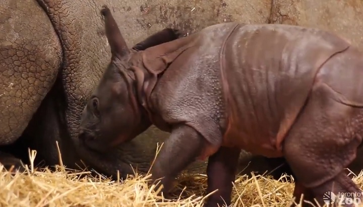 Toronto Zoo welcomes greater one-horned rhinoceros calf as its first newborn animal of 2018.