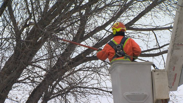 With colder temperatures, the City of Regina is taking the opportunity to protect the city's Elm trees against Dutch elm disease.