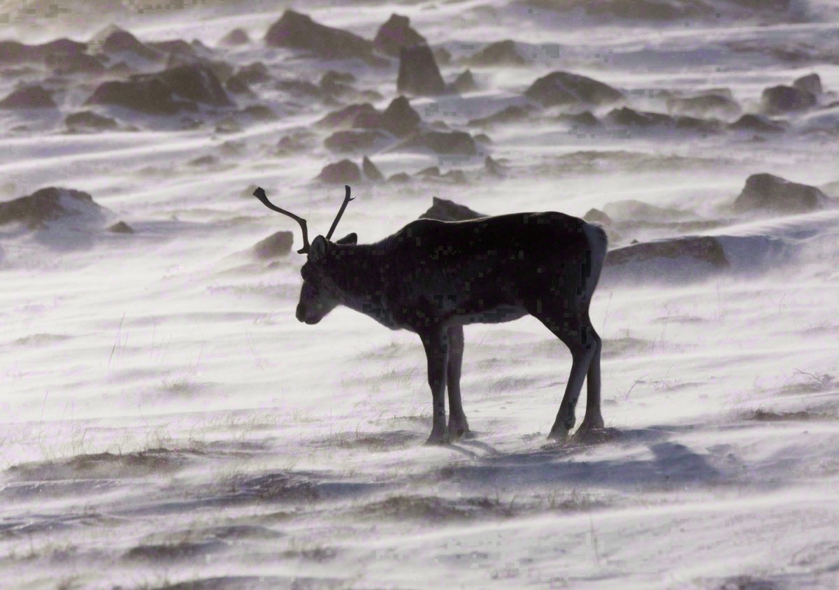 A wild caribou roams the tundra near the Meadowbank Gold Mine located in the Nunavut Territory of Canada on March 25, 2009.