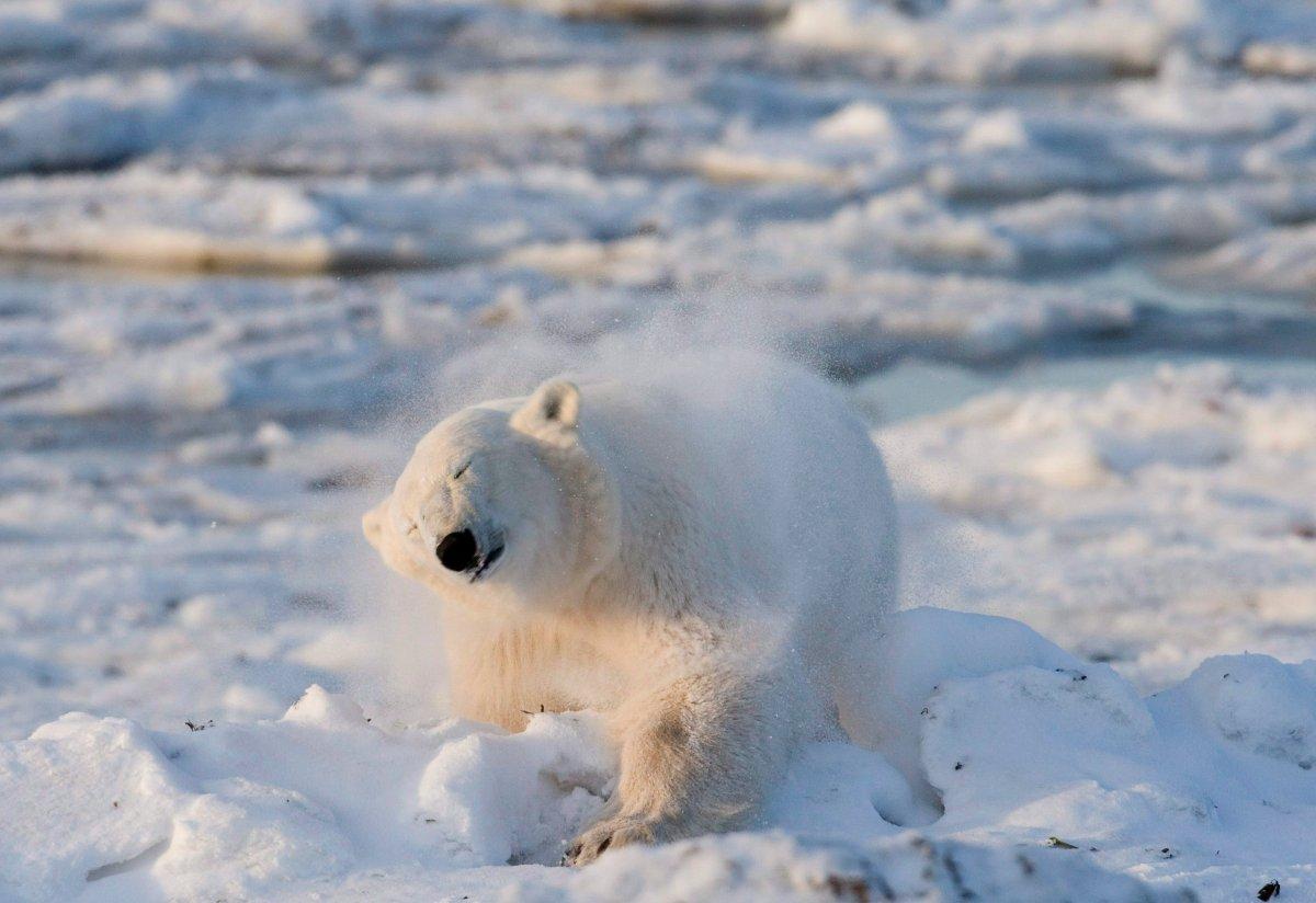 A polar bear shakes the snow off himself after a swim in Wapusk National Park on the shore of Hudson Bay near Churchill, Man.
