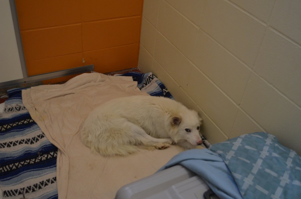 The BC SPCA says it seized more than 40 dogs north of Williams Lake last week.
