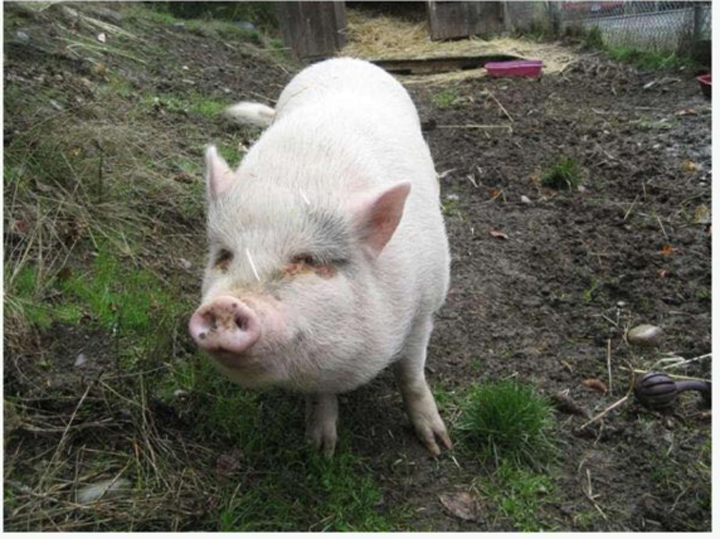 Molly the pig was adopted to a family in Duncan in mid-January.