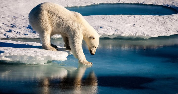 Polar bear killed after attacking cruise ship guard during tourist expedition in Norway