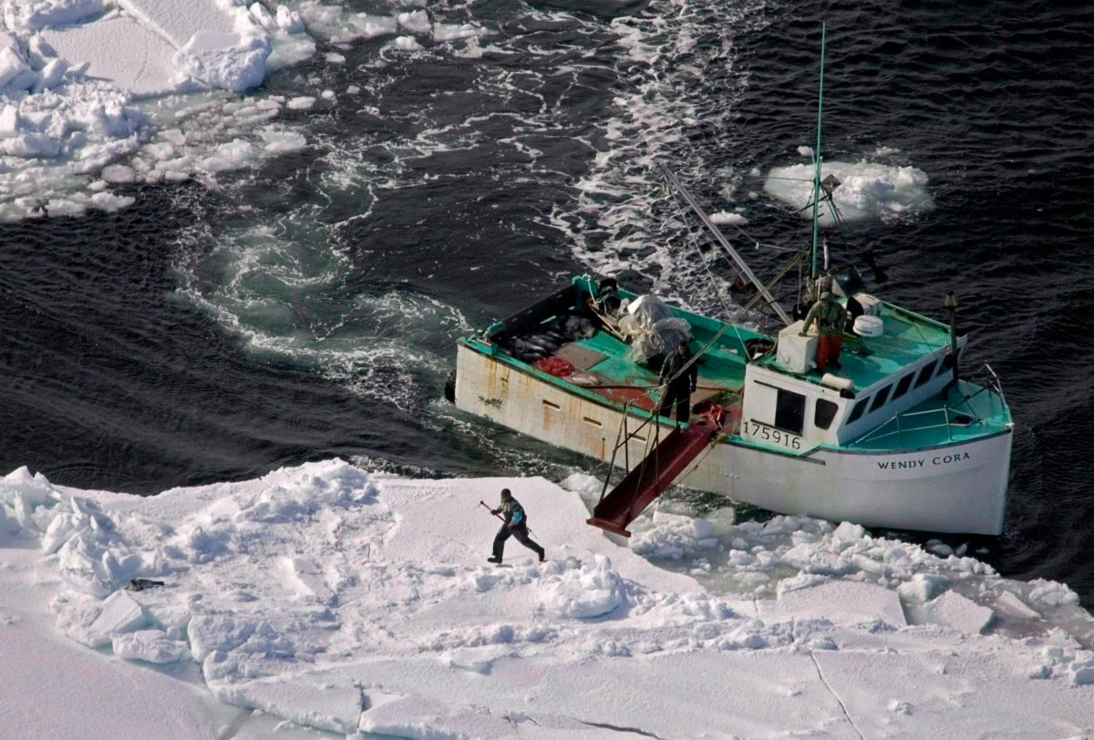 A hunter heads towards a harp seal during the annual East Coast seal hunt in the southern Gulf of St. Lawrence around Quebec's Iles de la Madeleine, March 25, 2009.