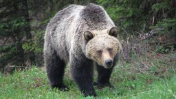 Continue reading: Grizzly Bears in Kananaskis Country – Tools for Managing Grizzlies and Bear Populations