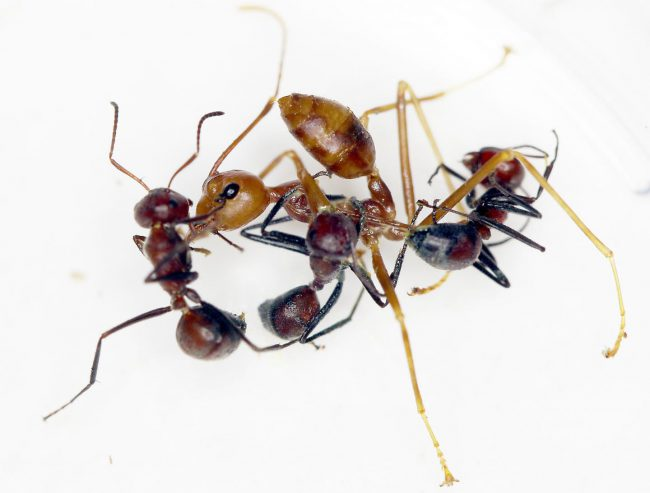 """A """"Colobopsis explodens"""" ant prepares to splatter weaver ants with goo in an experimental setting."""