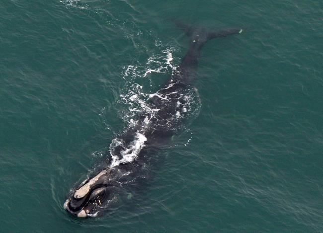 Marine mammal experts have warned that this could be the beginning of the end for the whales who were once favoured by hunters who dubbed them the right whales because of their slow-moving, surface-skimming behaviour that made them easy prey.