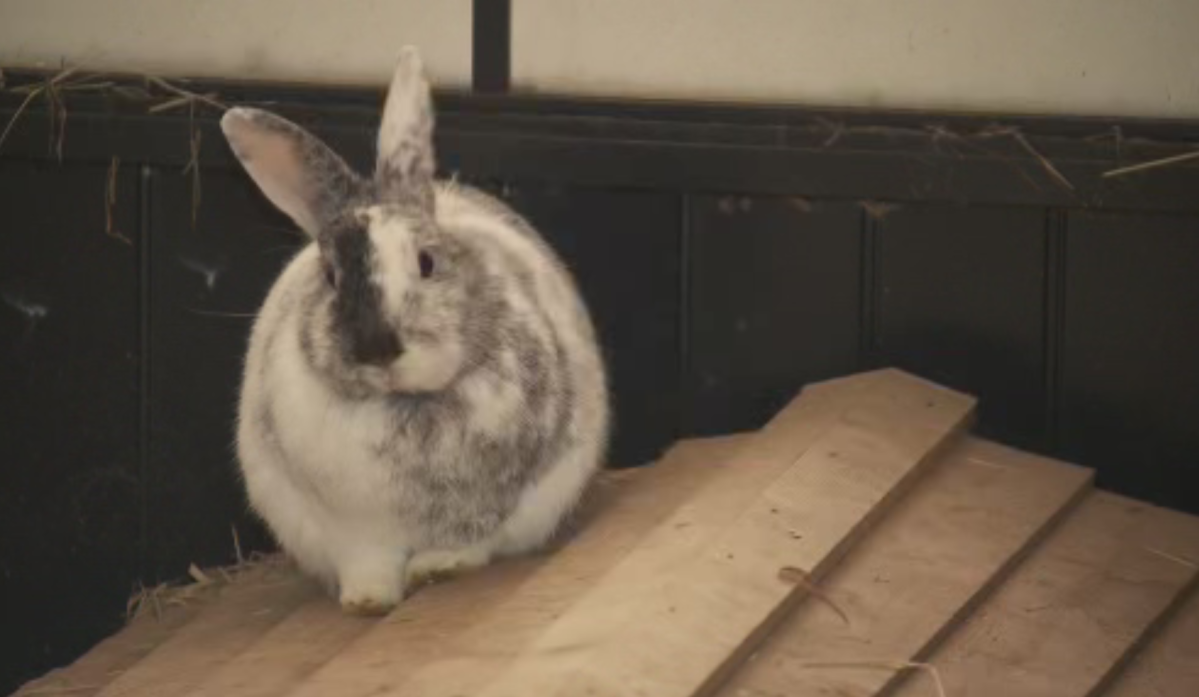There will be no rabbit exhibit at the IPE this year because of concerns about a deadly rabbit disease.