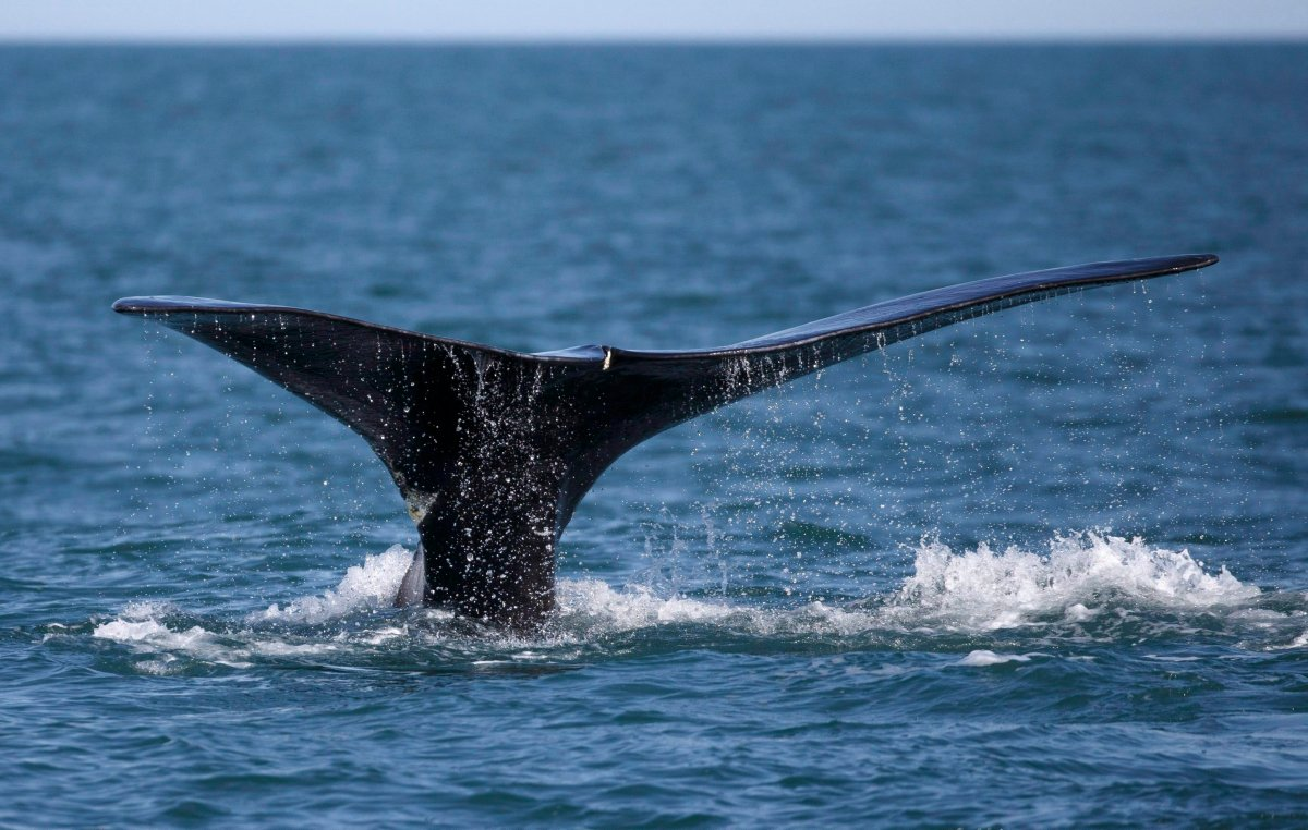 A North Atlantic right whale feeds on the surface of Cape Cod bay off the coast of Plymouth, Mass.