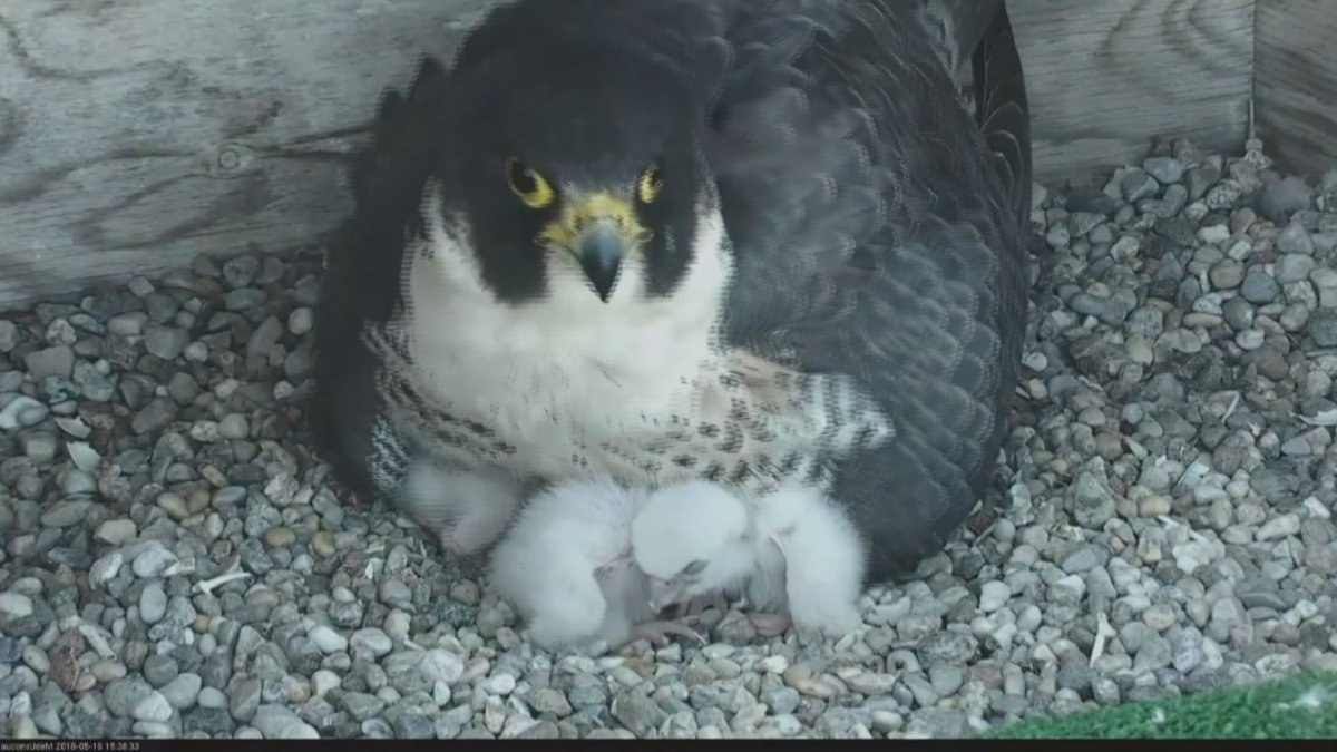 Baby falcons and their mother at the University of Montreal. May 16, 2018.