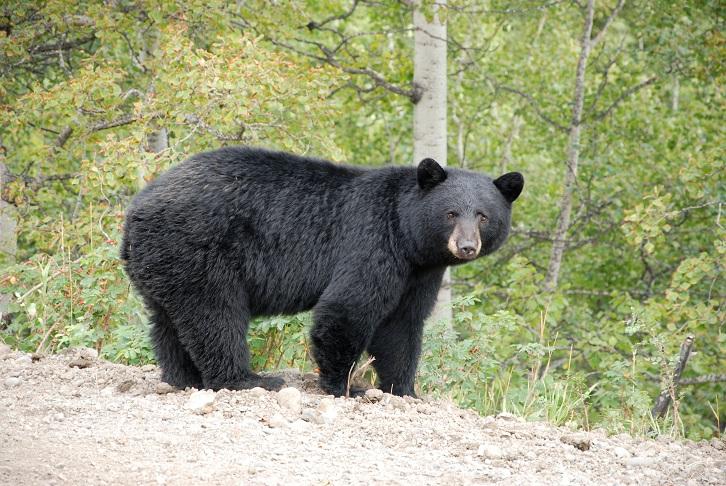 A file photo of a black bear.