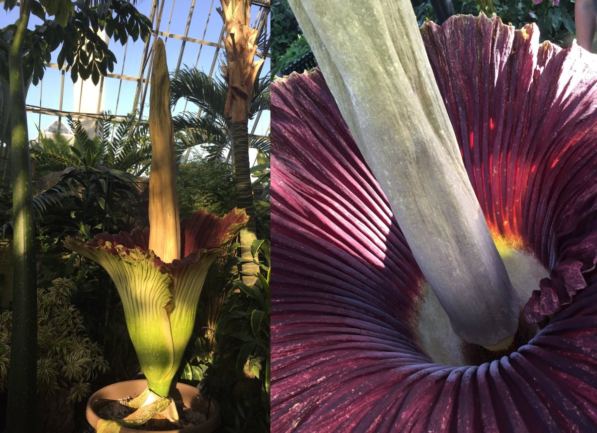 """Gagnus, the second stinky Amorphophallus titanum or """"corpse flower"""" at Edmonton's Muttart Conservatory, went into bloom Friday morning. May 25, 2018."""