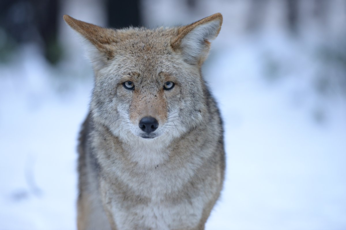 FILE -- A large coyote stares straight into the camera in Yosemite National Park.
