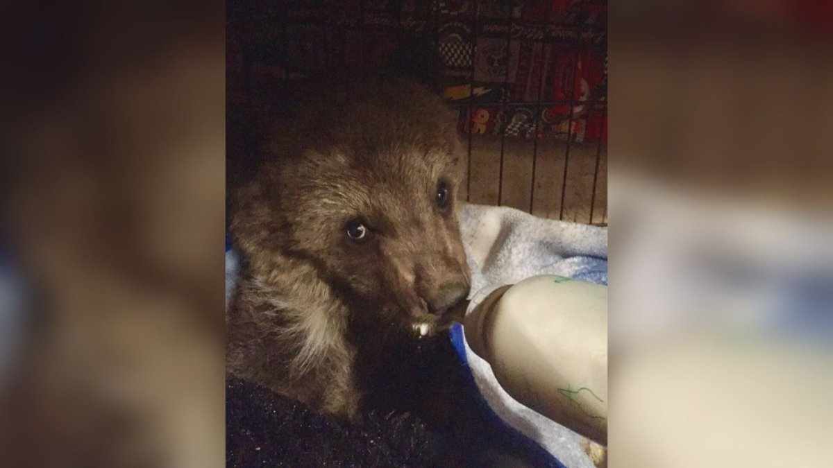 A grizzly bear cub nicknamed 'Groot' was euthanized Friday after being turned over to a conservation officer.