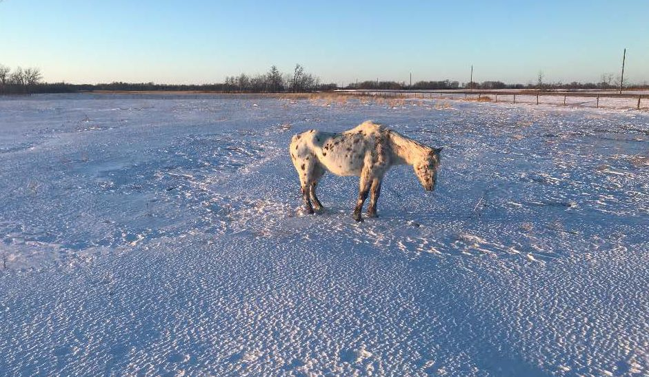 Melita RCMP posted images of a neglected horse found in a field near the southwest Manitoba town.