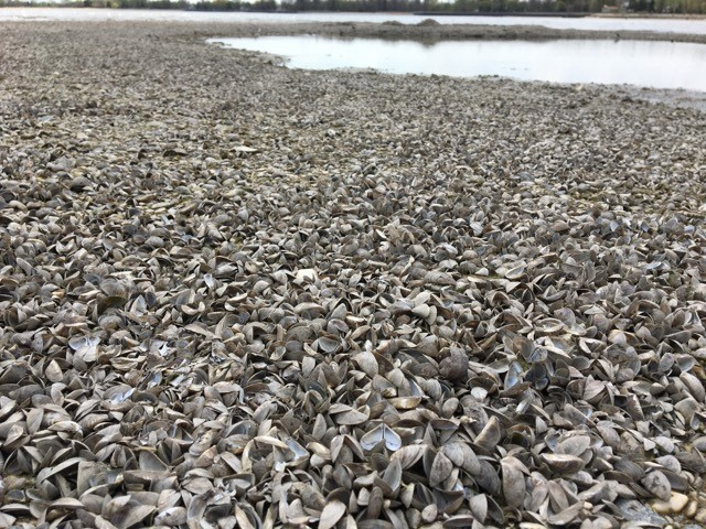 Winnipeg Beach was covered by scores of zebra mussels Tuesday.