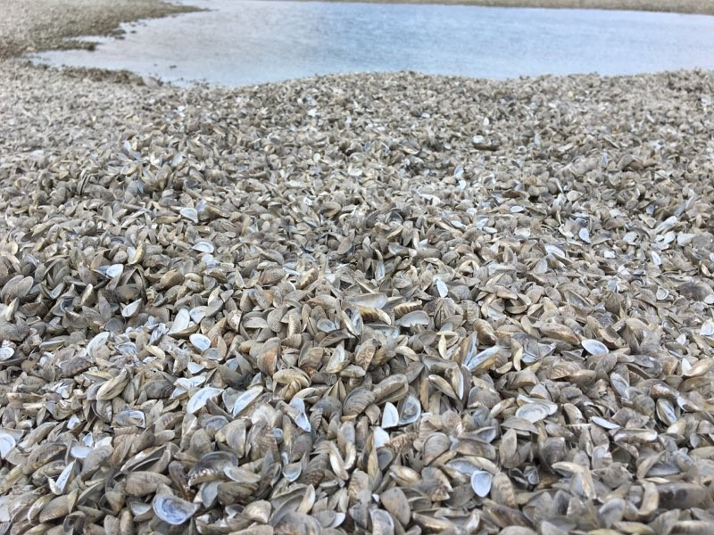 The usual sandy beach on Lake Winnipeg was buried by zebra mussels in May 2018.