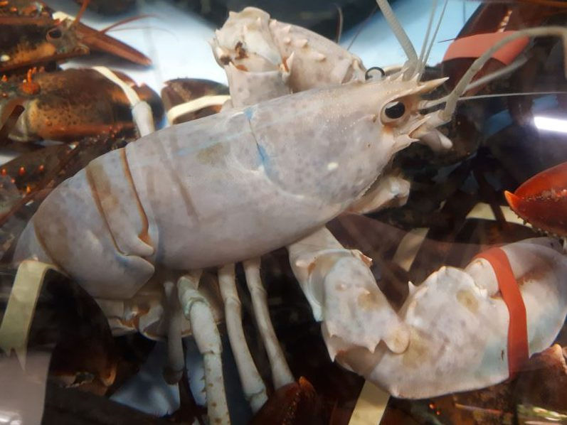 John Baird caught this albino lobster near Caribou Island, N.S., just outside Pictou.