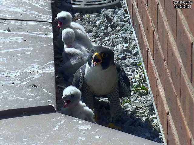 One of four baby peregrine falcons, born earlier last month on a ledge at the Sheraton Hotel, has died.