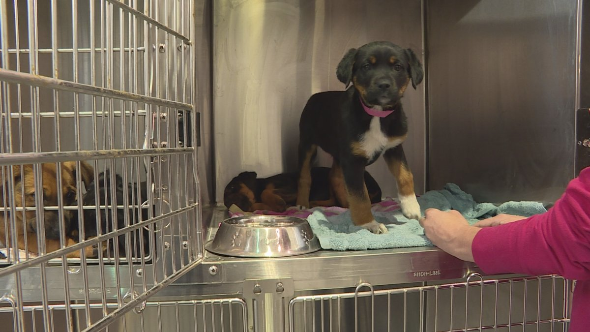A photo of a puppy recently rescued and brought to Alberta Animal Rescue Crew Society.