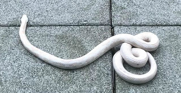 Yaletown Renter Comes Home To Find White Snake Coiled Up On Her Patio Bc Globalnews Ca