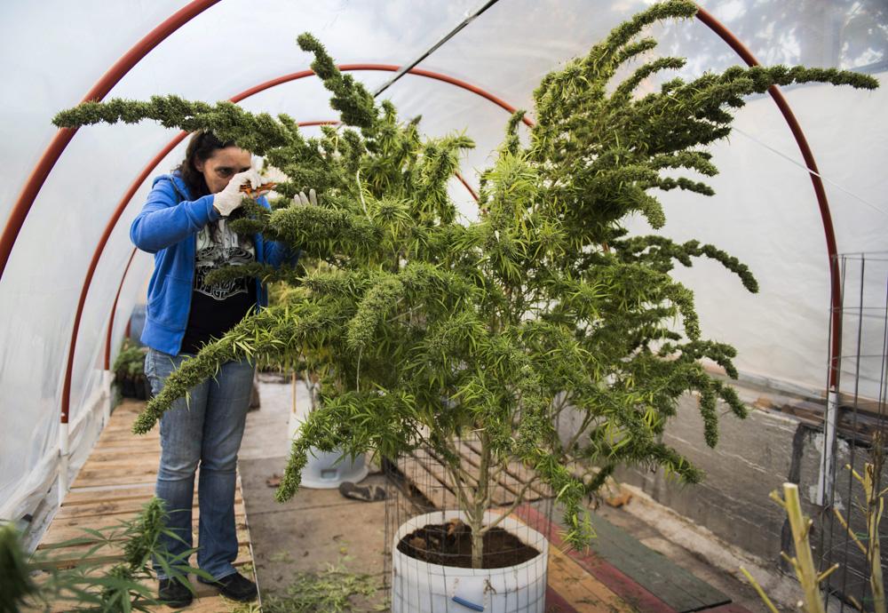 Laura Blanco trims a marijuana plant in a greenhouse at the Club Canabico Sativa, a marijuana club in Montevideo, Uruguay.