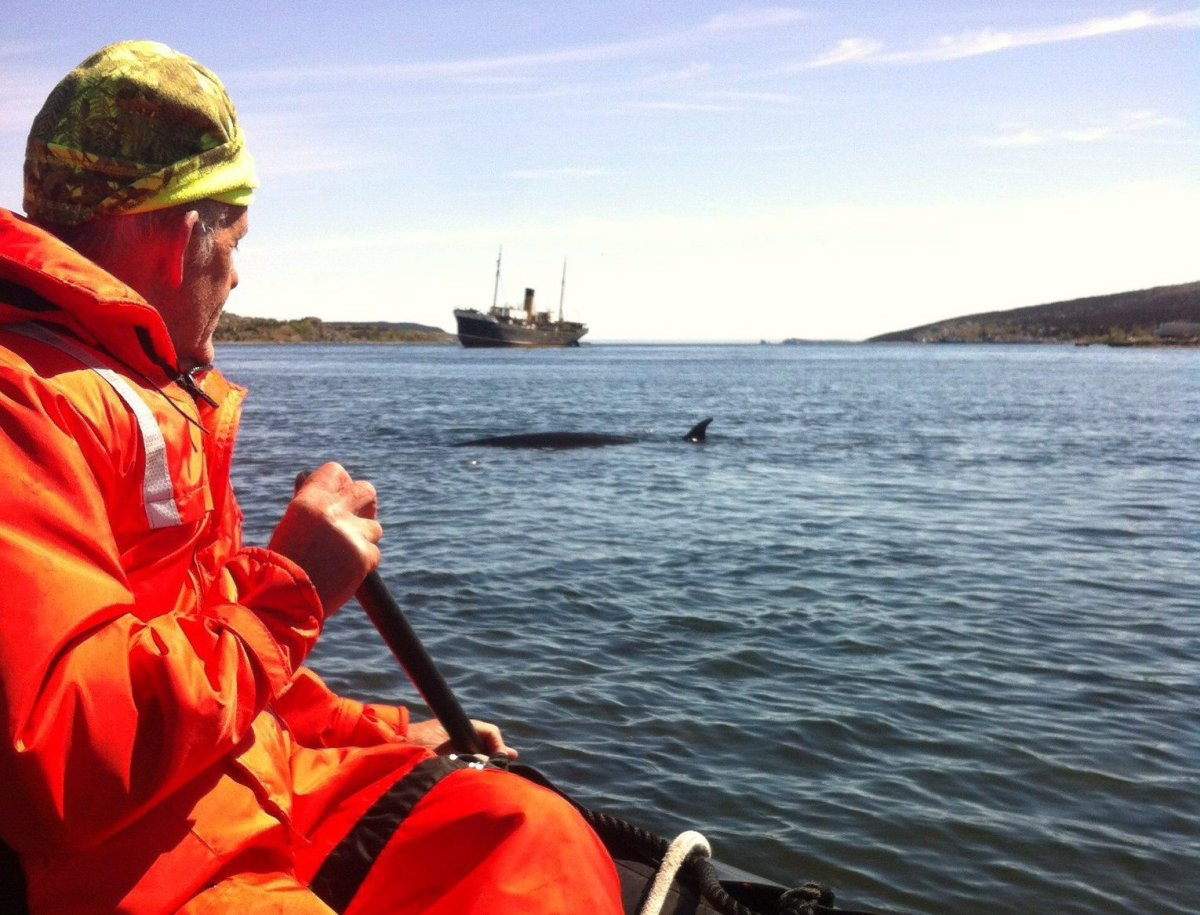 Mike Morrissey of Whale Release and Strandings paddles cautiously towards an adult minke whale in Harbour Grace, N.L., in this recent handout photo.