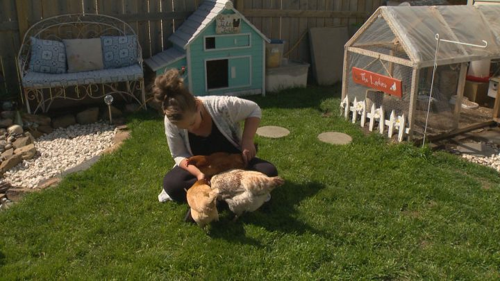 Nikki Pike sits with her three emotional support hens at her Calgary home.