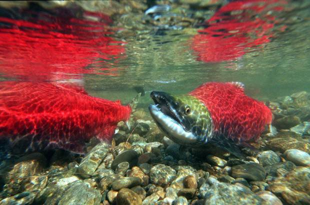 B.C. Tourism Operators are concerned wild salmon population will be hurt by fish farm license renewals.